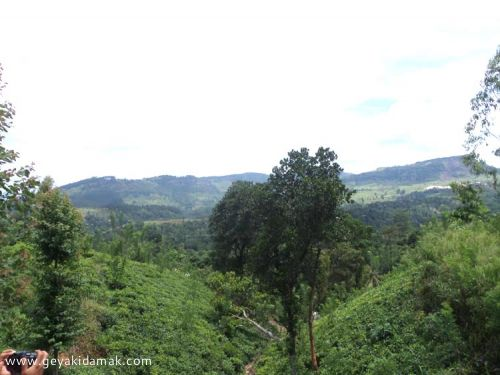 Tea Land (Estate) for Sale at Galaha - Kandy