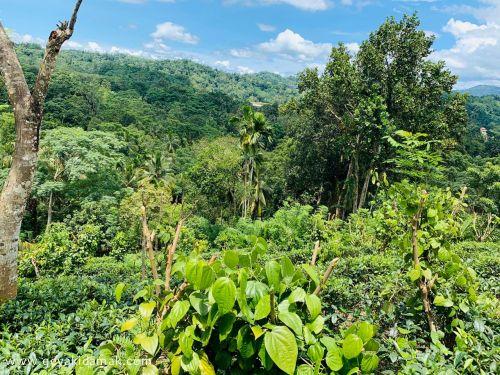 Tea Land (Estate) for Sale at Urubokka - Matara