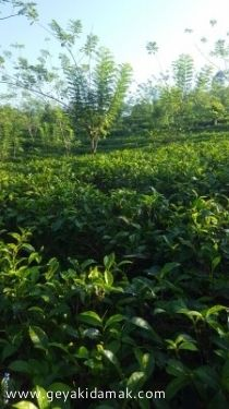 Tea Land (Estate) for Sale at Balangoda - Ratnapura
